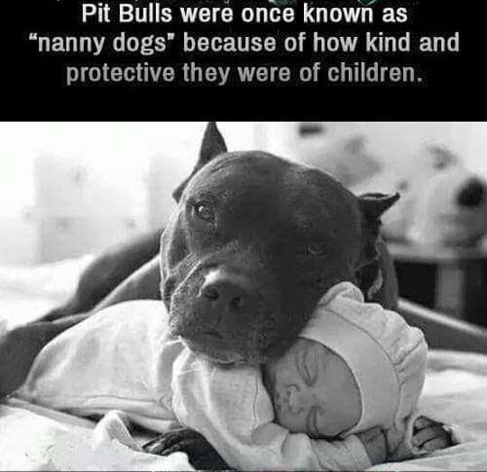 Pit Bulls Were Once Knows As Nanny Dogs Pictures Photos And Images