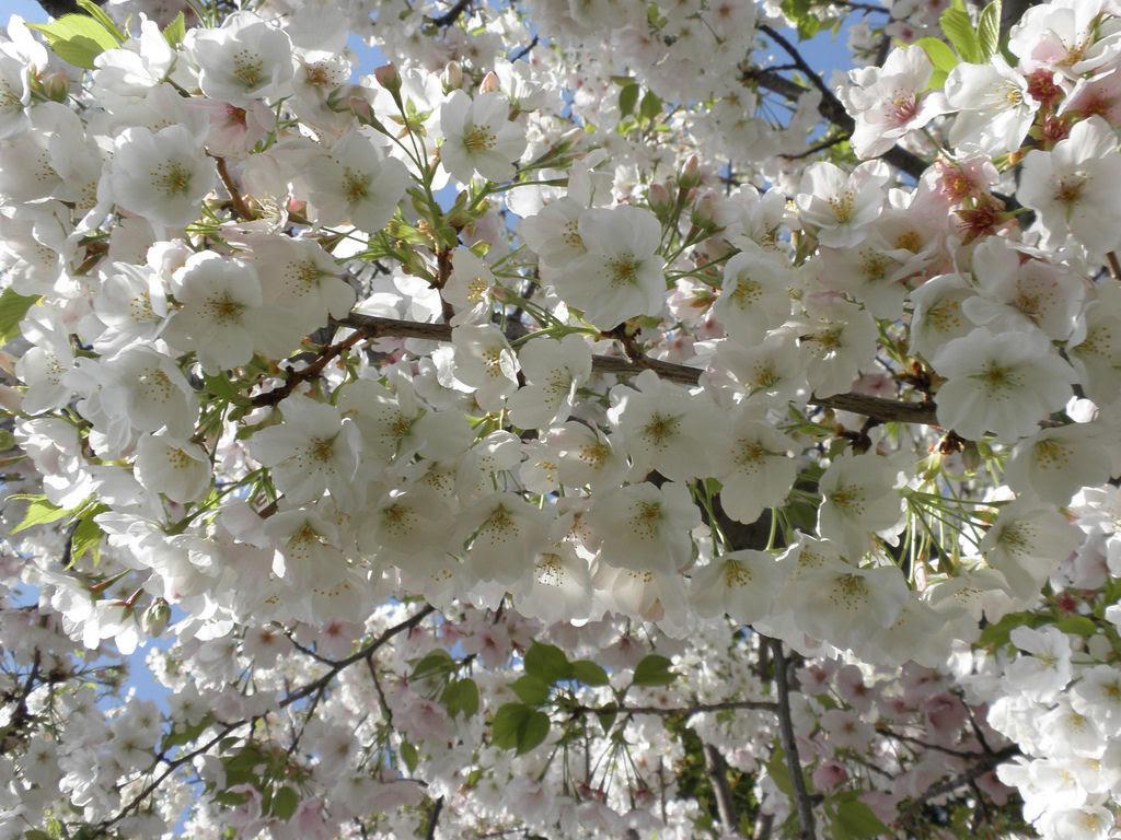 As floradas de cerejeiras mais bonitas em todo o mundo 16