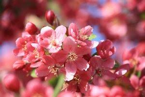 pink-crabapple-blossoms-close-up