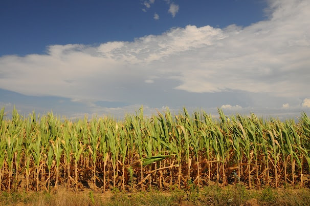 Rain clouds form to the east of parched Vigo county cornfields Thursday July 19 2012 in Terre Haute, Ind.