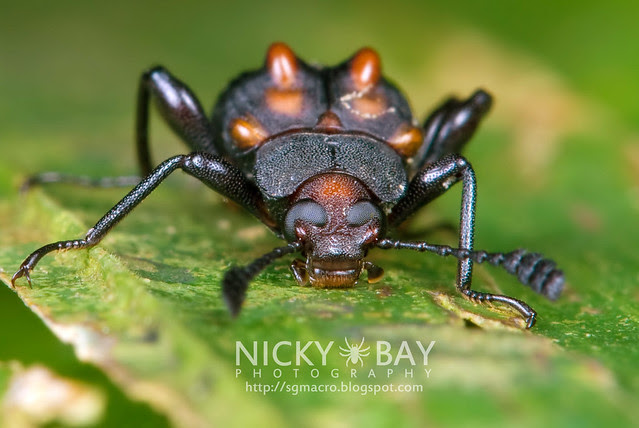 Darkling Beetle (Tenebrionidae) - DSC_9558