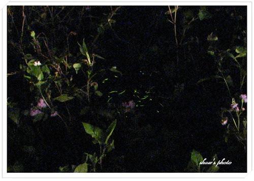 大山背-螢火蟲