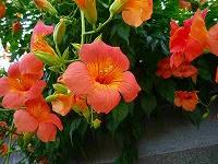7月20日の誕生花夏本番を告げる名誉を得たラッパのような栄光
