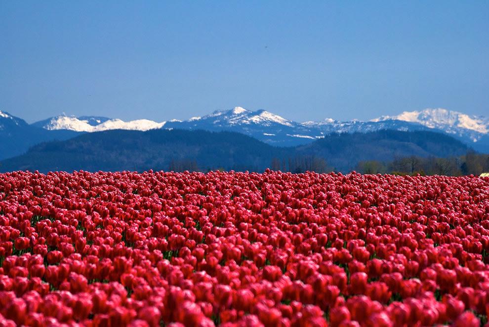 Μπλε βουνά και κόκκινες τουλίπες σε Skagit Valley Tulip Festival στην Ουάσιγκτον