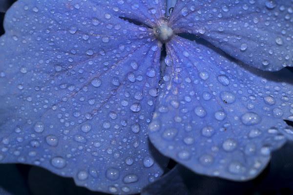 misty hydrangea