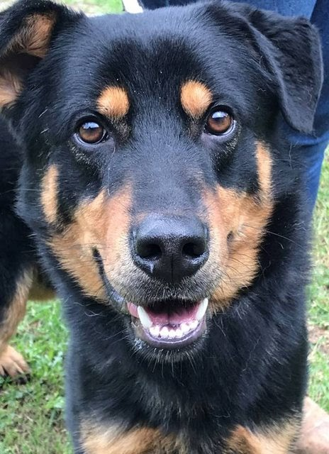 Ralph – 1-2 year old male Rottweiler Cross