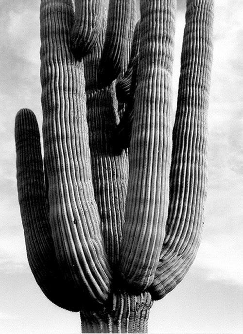 Ansel Adams - desert cacti