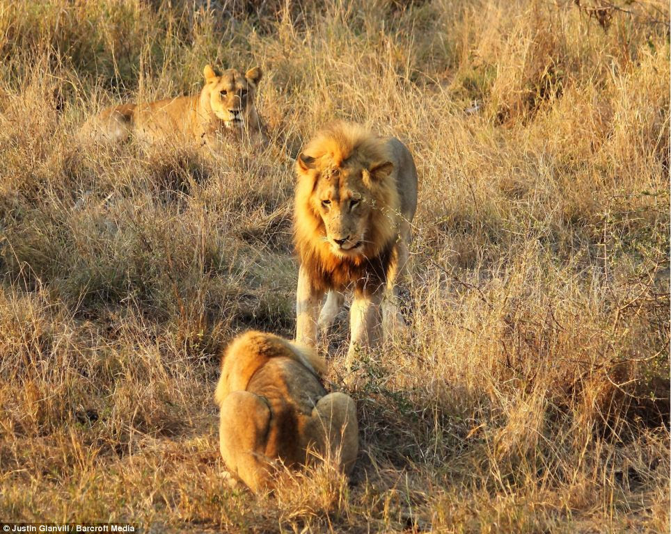 Calm: In a less frantic photo, the male looks at his young opponent as if to see if he is ok
