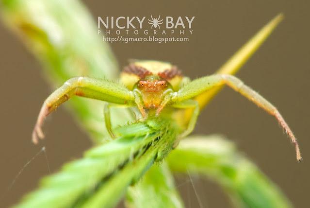 Crab Spider (Thomisidae) - DSC_7590