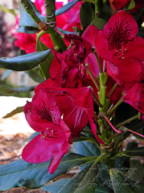 DSCN1437 Nova Zembla Rhododendron