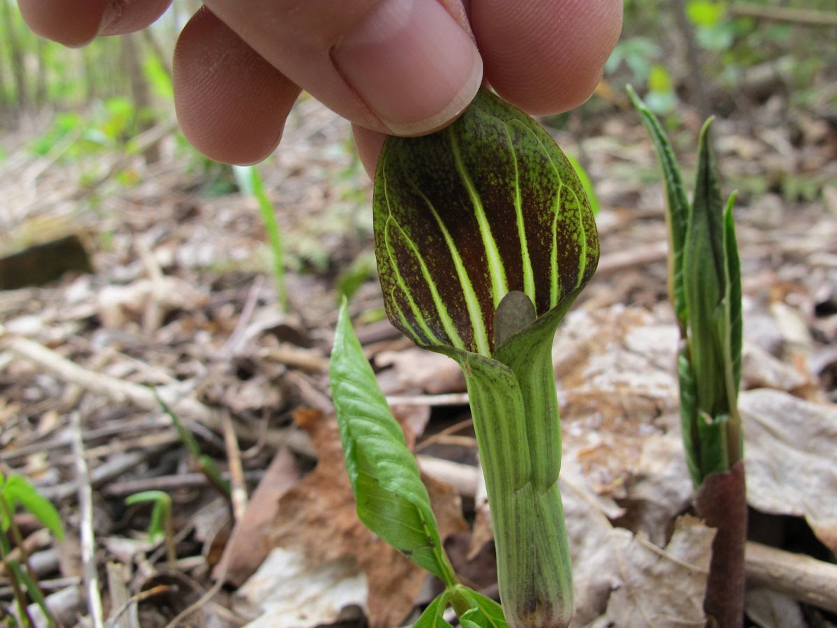 Jack In The Pulpit Wildflower Wednesday