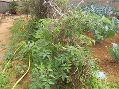 tomato plants december hania chania