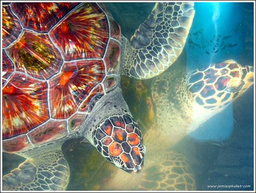 Turtles at Phuket Aquarium