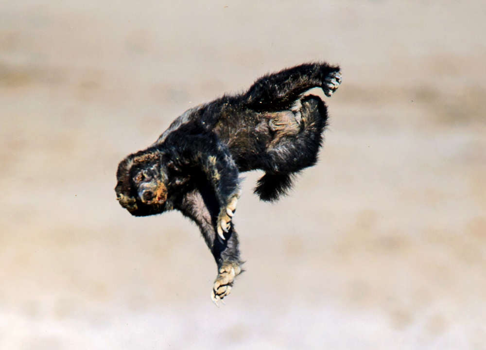 These Pictures Of A Honey Badger Taking On An Antelope Are The Best