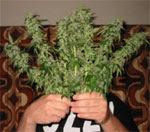 Coltivavano marijuana davanti alla sede dei carabinieri