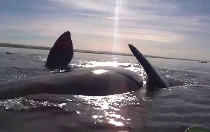 Φάλαινα σηκώνει kayakers στην πλάτη της