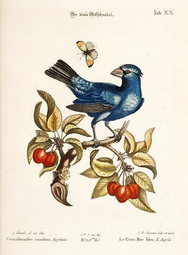 Le Gros-Bec bleu, d'Angola