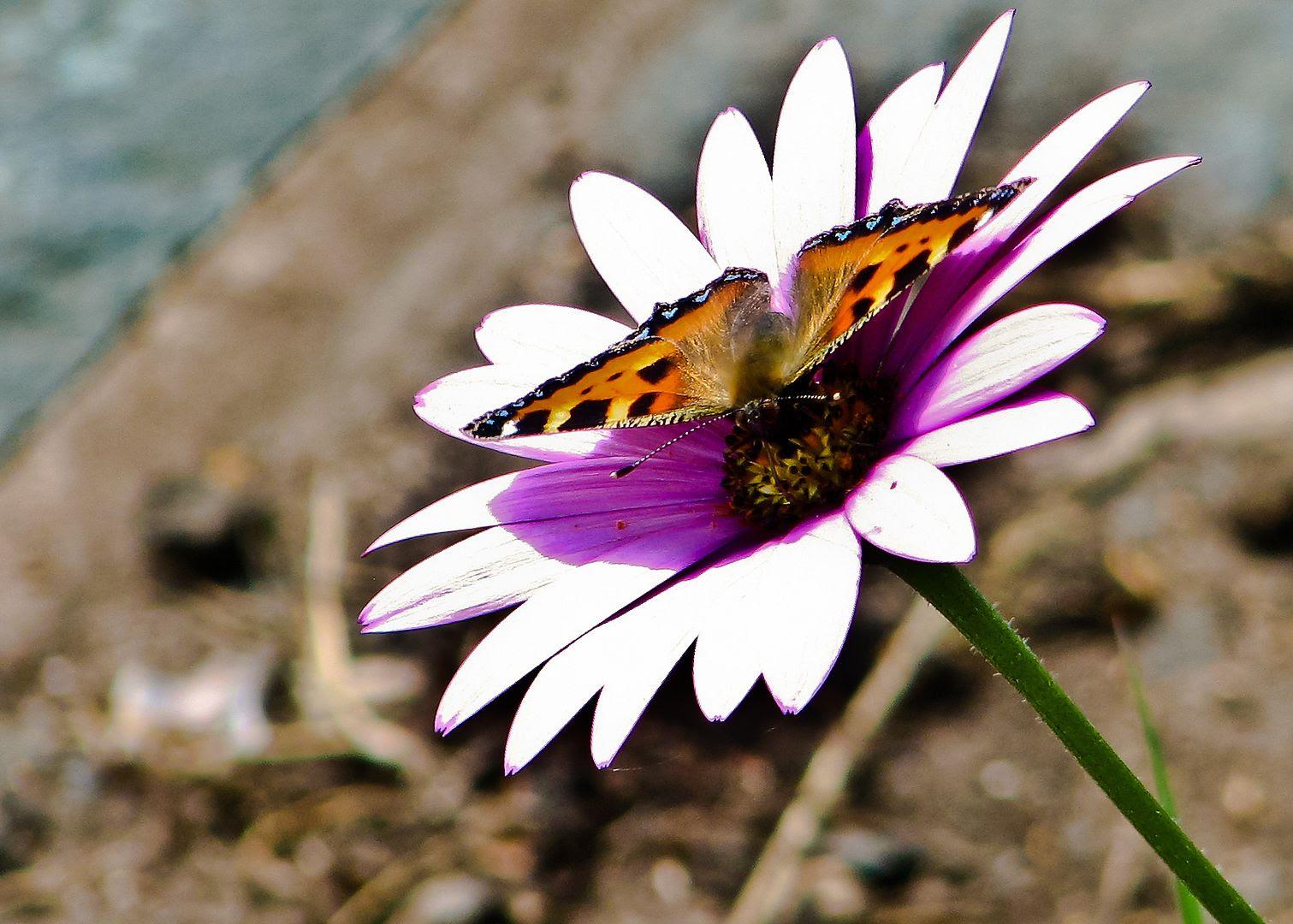 Butterfly,summer