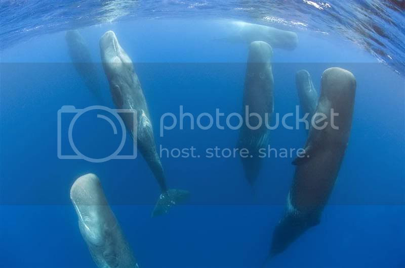 photo pod-of-sperm-whales-sleeping_zps86875afa.jpg