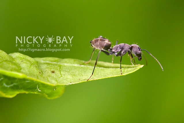 Ant (Formicidae) - DSC_1543