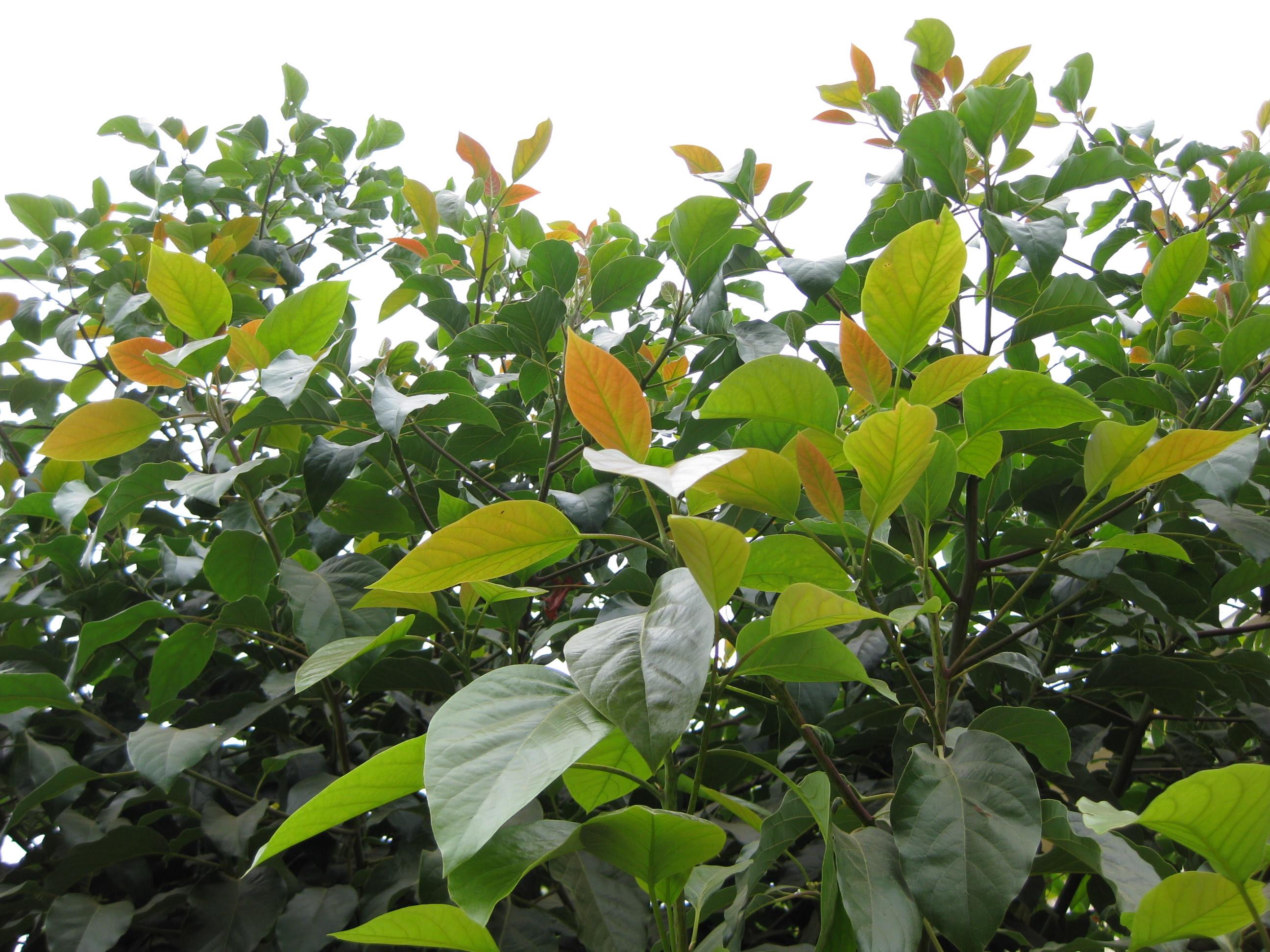 Avocado Tree Longevity The Smarter Gardener