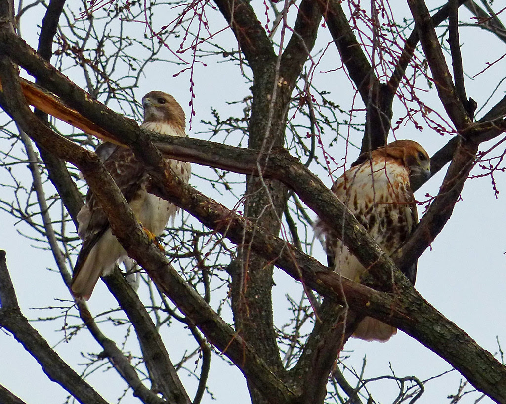 Mating pair in Tompkins Square