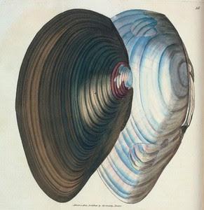 Mytilus stagnalis. [Class 6. V... Digital ID: t000611. New York Public Library