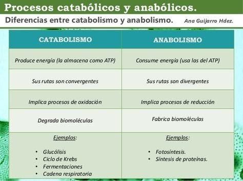Ejemplos De Anabolismo Y Catabolismo En El Ser Humano Colección De Ejemplo