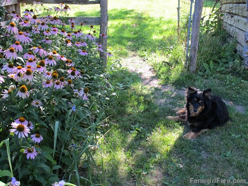 (24) Lucky Buddy Bear on baby chick guard duty by the echinacea - FarmgirlFare.com