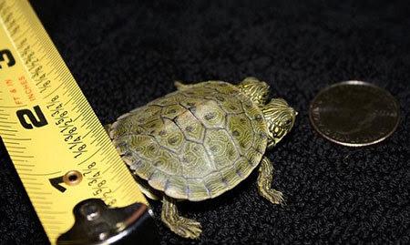 rùa, 2 đầu, Mỹ, xôn xao