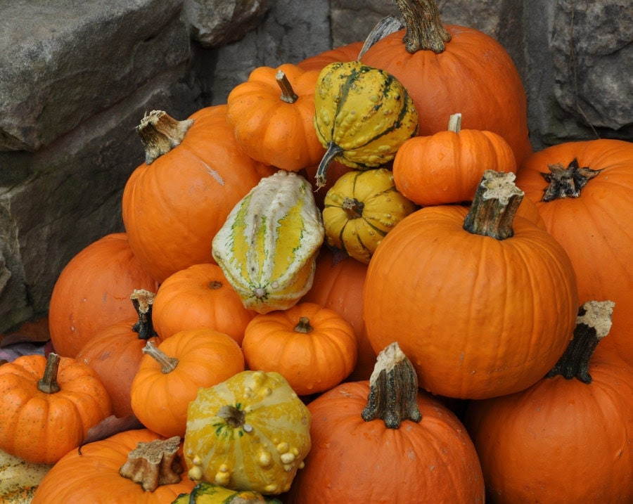 Pumpkins in a Pile - Photo Print 8x10