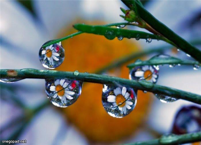 Отражение ромашки в каплях воды. Фото