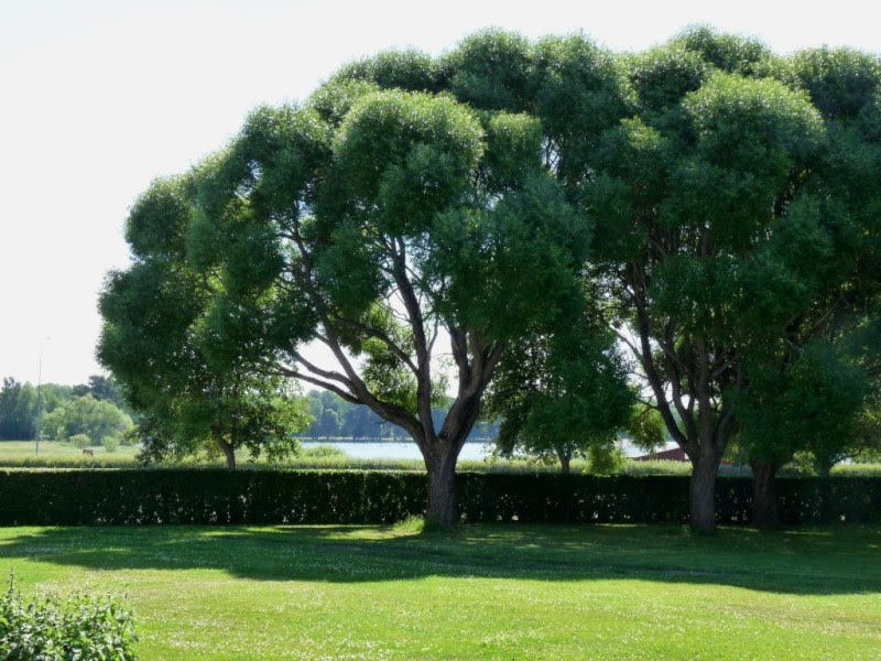 Parkträd