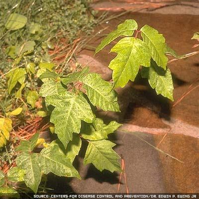 poison oak ivy sumac. Poison ivy, poison oak and