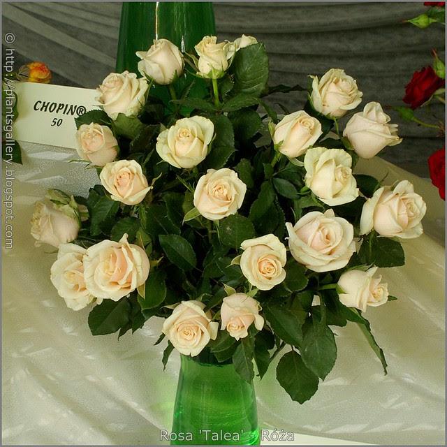 Rosa 'Talea' - Róża