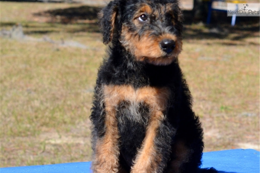 Airedale Terrier puppy for sale near Ocala, Florida  760c5ffc16e1