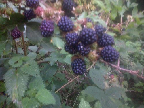 blackberries Sept 13