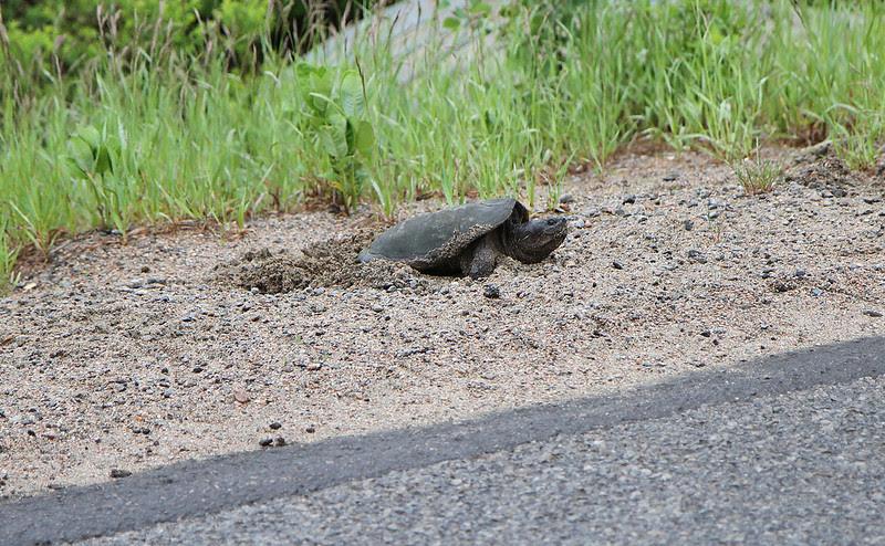 turtle laying