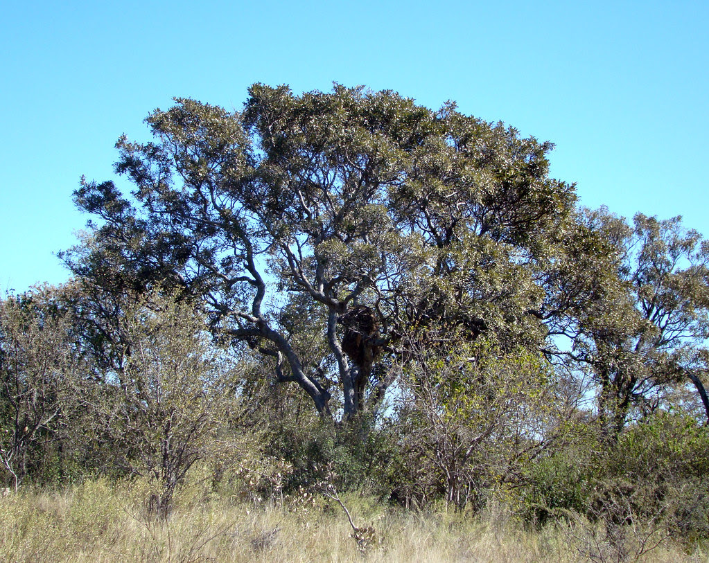 DSC07777 Hamerkop nest