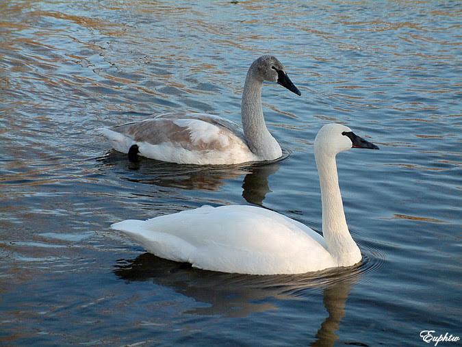 swan river2004 013
