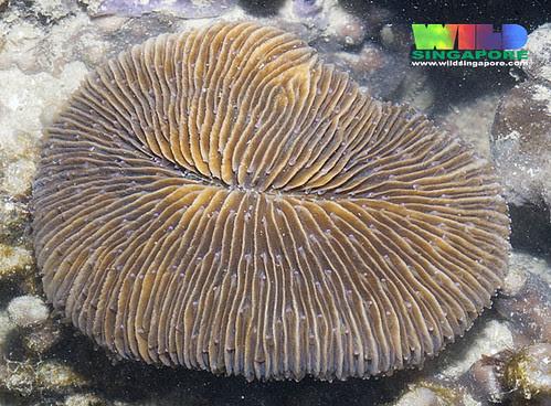 Oval mushroom coral (Fungia sp.)
