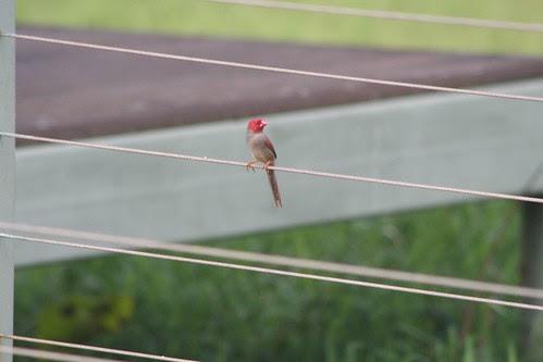Crimson Finch