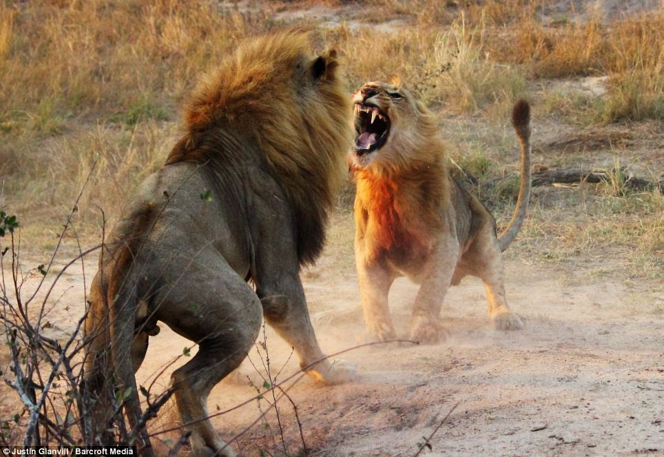 Agression: The younger male, determined to put up a good fight, stands his ground and roars at his opponent