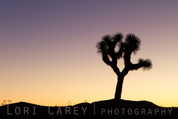 Joshua Tree silhouette at twilight