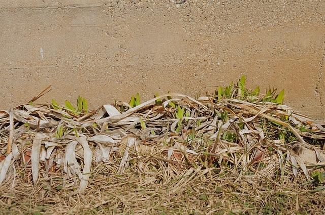 Bearded Iris (DS3_6152)