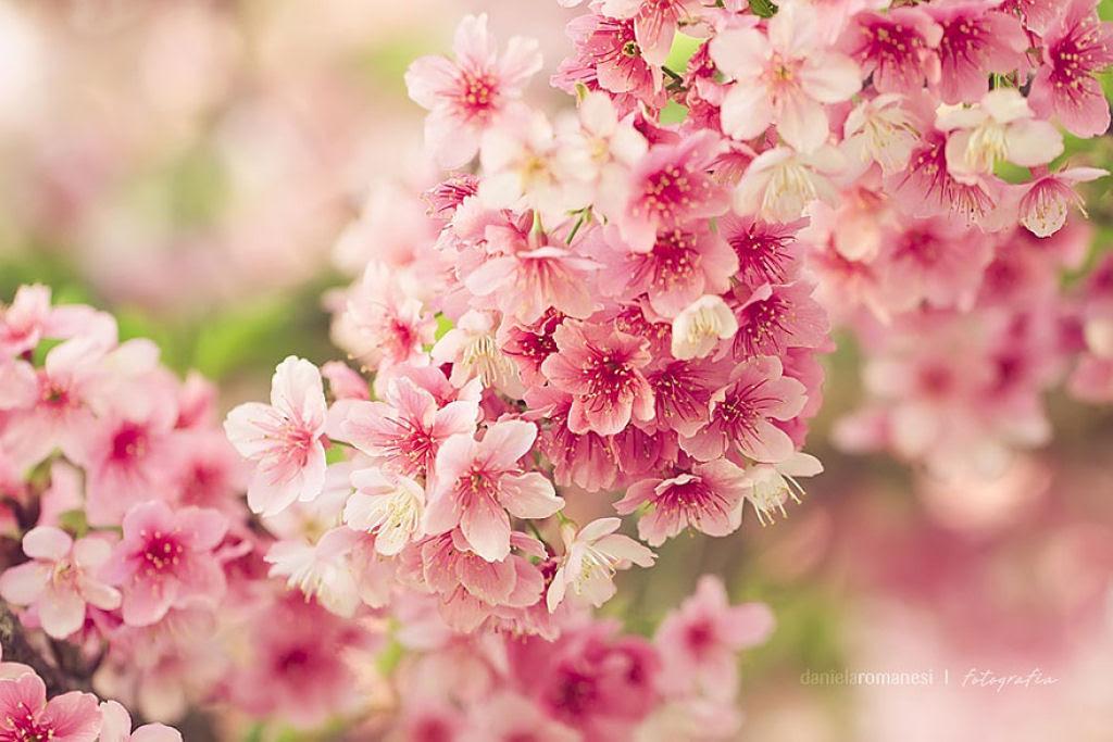 As floradas de cerejeiras mais bonitas em todo o mundo 05