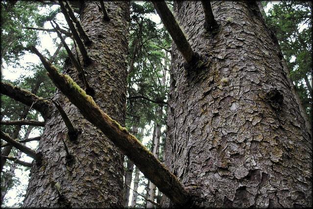 Sitka Spruce - Cape Falcon - Oswald West State Park