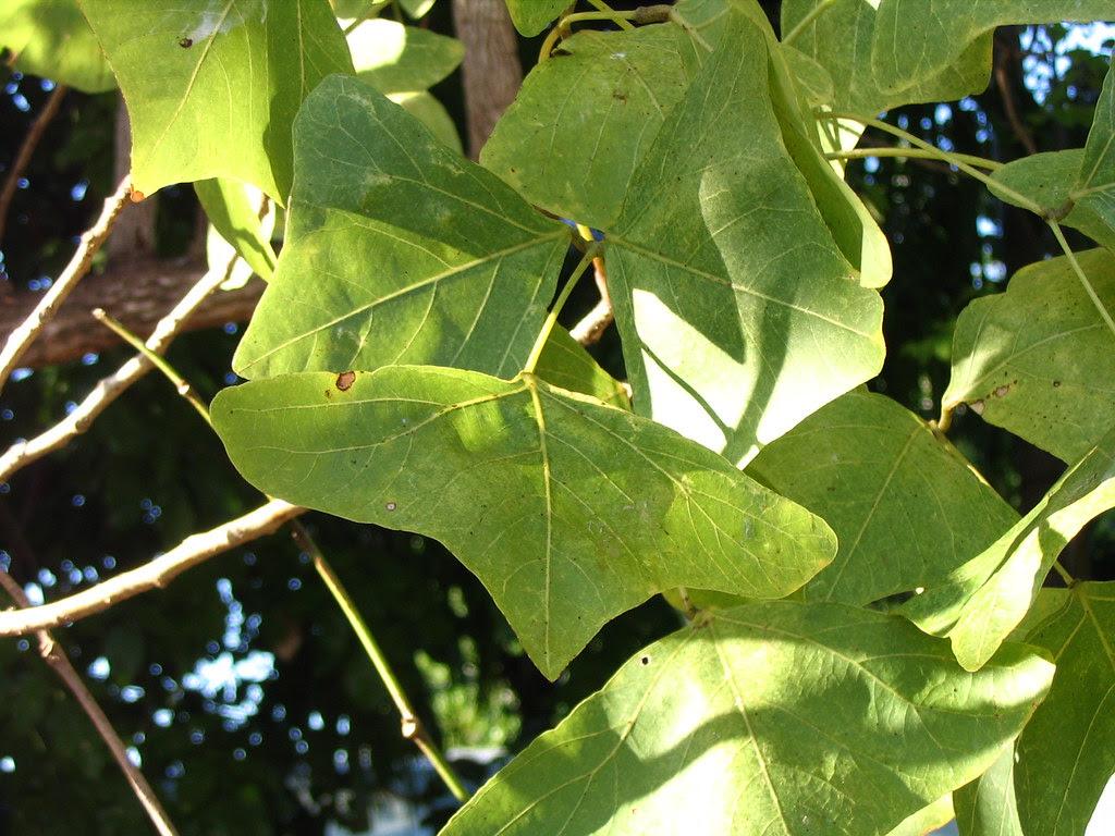 Erythrina caffra leaf