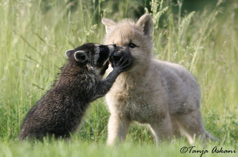 Friendship animals.  Raccoon and puppy