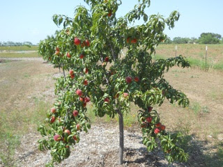 Orchard 2012 Nectarines on Tree